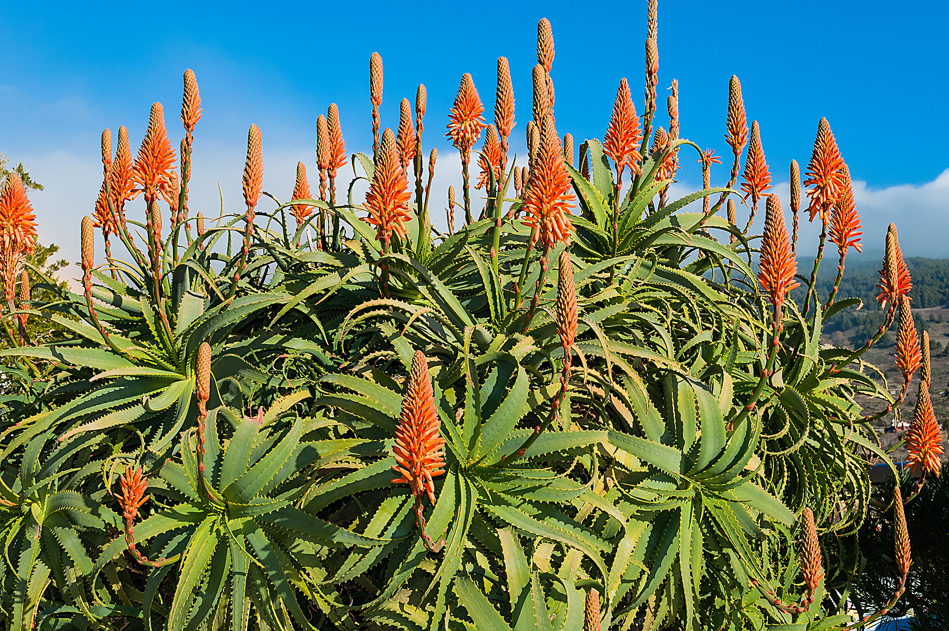 Kanaren-Aloe
